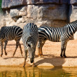 Zebras at the watering - Stock Photo