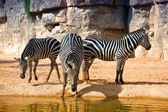 Zebras at the watering — Stock Photo