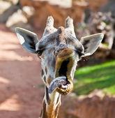 Yawning giraffe — Stock Photo