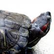 Animal, turtle, — Stock Photo #3995616