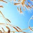 Royalty-Free Stock Photo: Ripe Wheat against Clear Blue Sky