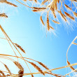Ripe Wheat against Clear Blue Sky — Stock Photo #4959396