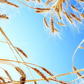 Ripe Wheat against Clear Blue Sky — Stock Photo