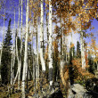 Aspen grove in the Rocky mountains — Stock Photo