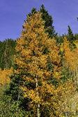 Aspens in fall — Stock Photo