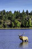 Bull Elk — Stockfoto