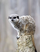 Meerkat on Lookout Duty — Stock Photo