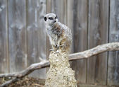 Meerkat on Lookout Duty — Foto de Stock