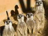Four Meerkats — Stock Photo