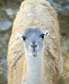 Young Llama — Stock Photo