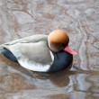 Red Crested Pochard — Stock Photo