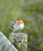 European Robin — Stock Photo