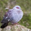 Speckled Pigeon — Stock Photo #4814293