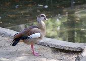 An Egyptian Goose — Stock Photo