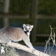ring tailed lemur&quot — Stock Photo