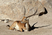 Red Lechwe — Stock Photo