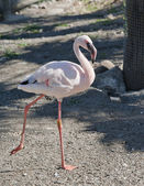 Lesser Flamingo — Photo