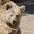 Brown Bear — Stock Photo #5255131