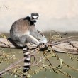 ring tailed lemur&quot — Stock Photo #5255296
