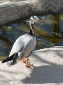 Bar Headed Goose — Stock Photo