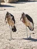 Dos marabúes — Foto de Stock