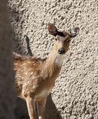 White Spotted Gazelle — Stock Photo