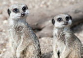 Two Meerkats on Lookout Duty — Stock Photo