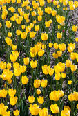 The young yellow tulips — Stock Photo