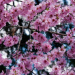 Stock Photo: Sakur(cherry blossoms)