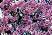Sakura (cherry blossoms) — Stock Photo