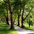 Alley plane trees — Stock Photo