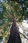 Cedar tree on flower island of Mainau — Stock Photo