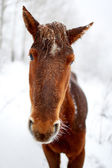 Portrait horse in winter forest — Stock Photo