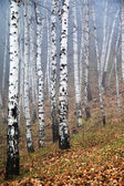 Birches in the Fog — Stock Photo