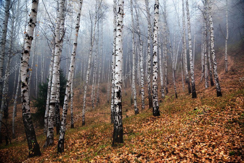 заболеванием в березовки березки туманом пелена описывается