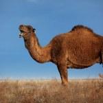 Camels on winter desert — Stock Photo