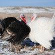 Turkeys in winter field — Stock Photo