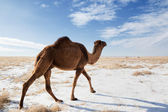 Camels on winter desert — Stock Photo