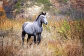 Hermoso caballo gris — Foto de Stock