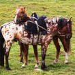 Two nomadic horses — Stock Photo #5086164