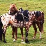 Two nomadic horses — Stock Photo