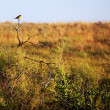 Songbird on prairie — Stock Photo #5328241
