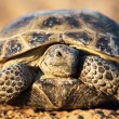 Steppe tortoise — Stock Photo
