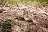 Groundhog near the hole — Stock Photo
