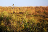 Songbird on the prairie — Stock Photo