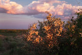 Flowering bush in the prairie — Stock Photo