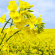 Flowering oilseed rape - Stock Photo