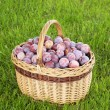 Basket of freshly picked plums — Stock Photo