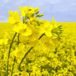 Stock Photo: Flowering oilseed rape