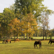 Stock Photo: Horses grazing